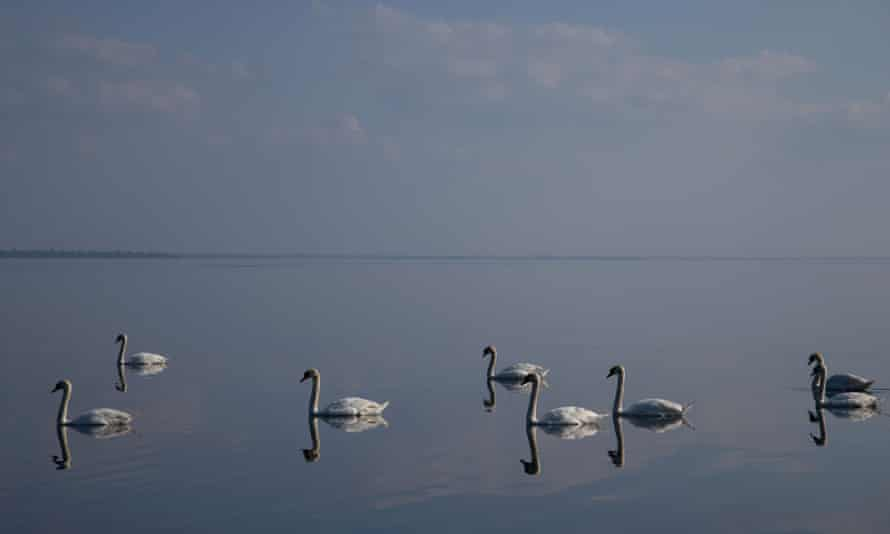 Swans on Lough Neagh in Co Antrim, Northern Ireland.