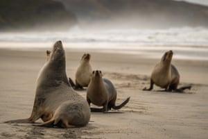 Sea lions on Allans beach