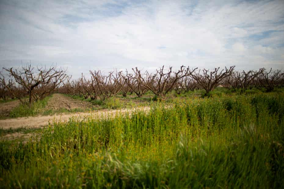 An orchard next the Masumoto family farm. With little precipitation, the soil is drying out early.