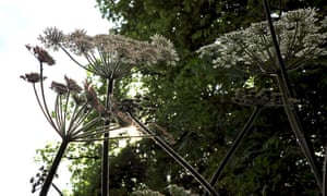 Sunlight on hairy stems of hogweed.