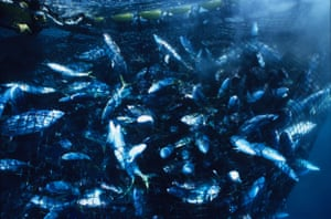 Multitudes of fish trapped in a purse-net from Japanese fishing boat Eikyu Maru