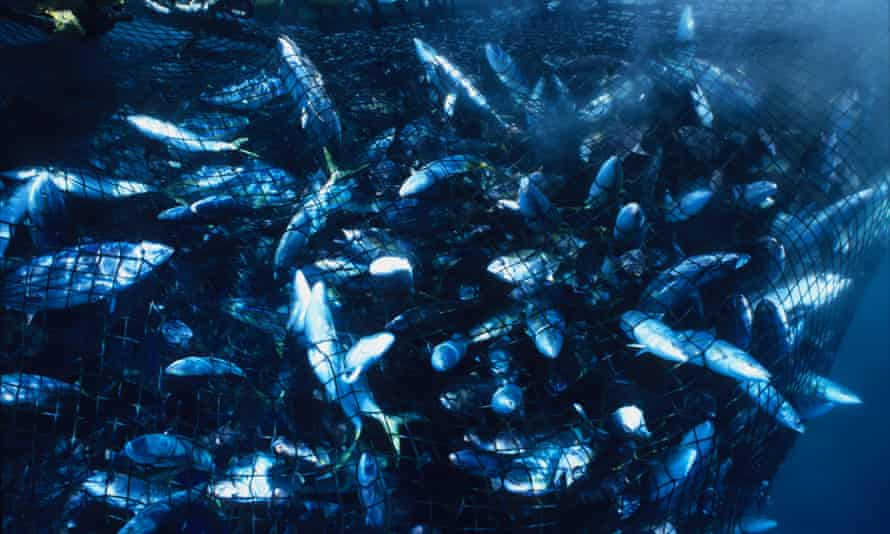 Multitudes of fish trapped in a purse net from Japanese fishing boat, Eikyu Maru.