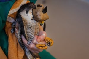 Vet Irene López holds a peregrine falcon being treated for a broken wing in Majadahonda, Spain