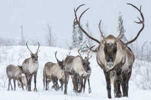 The Porcupine Caribou Herd makes its annual journey through the Peel