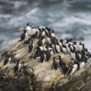 Guillemots still flock on cliffs at the Sumburgh Head RSPB reserve on Shetland – but in far fewer numbers.