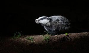 A badger at night