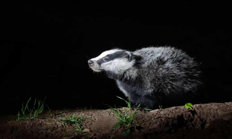 Badger, Meles meles, single mammal at set, Warwickshire, May 2014E0Y52G Badger, Meles meles, single mammal at set, Warwickshire, May 2014