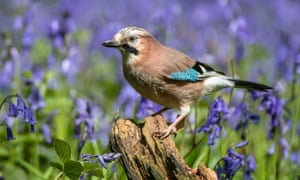 A jay among bluebells in Hertfordshire.
