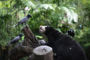A Malaysian sunbear lounges with crows in an enclosure on the last day of opening at Dusit Zoo in Bangkok