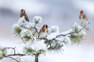 Three European goldfinches perch in a snowy conifer tree in Renfrewshire, Scotland