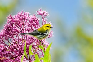 A black-throated green warbler perched on pink flowers in Binghamton, NY, US. The birds breed in the US and migrate to Mexico.