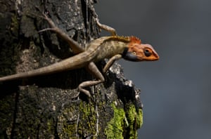 An oriental garden lizard sits on a tree in Gauhati. During the breeding season, the male lizard's head and throat turn a bright colour.