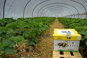 A box of bumblebees, ready to pollinate strawberries