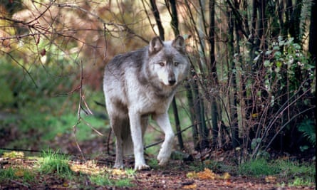 The number of wolves counted in Washington state stood at 126 before the four wolves were killed.