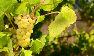 Pick of the bunch: popular Muller Thurgau grapes ready for harvest.