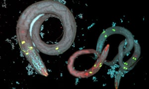 Roundworms given the antidepressant mianserin were shown to live longer.