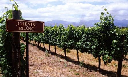 Grape expectations: a vineyard of chenin blanc.