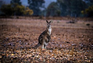 A kangaroo with a joey in her pouch stands in a drought-affected paddock as rain falls on the outskirts of Dubbo, Australia. Regional Australian towns are expected to run out of water as soon as November if drought conditions continue across New South Wales