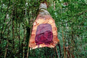 A freshly cut Malagasy rosewood tree illegally harvested in Madagascar's Masoala national park.
