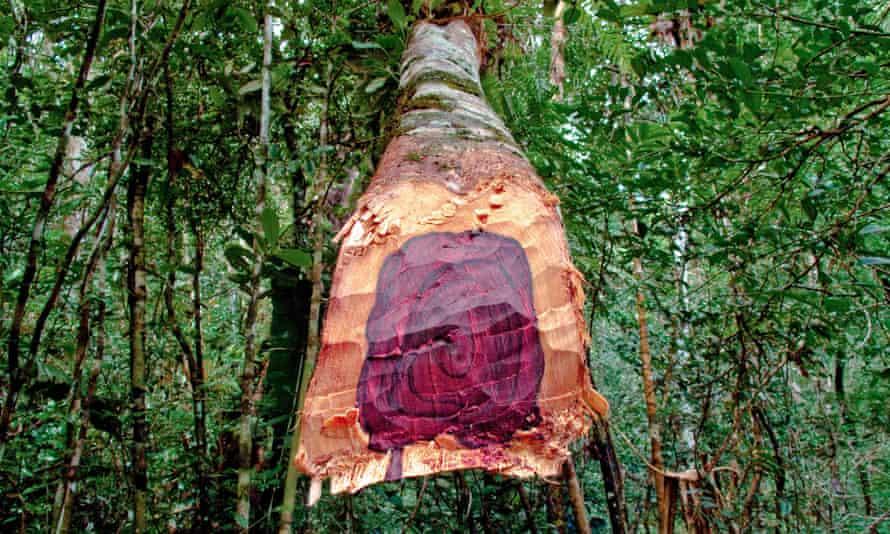 A freshly cut Malagasy rosewood tree illegally logged in Madagascar's Masoala national park