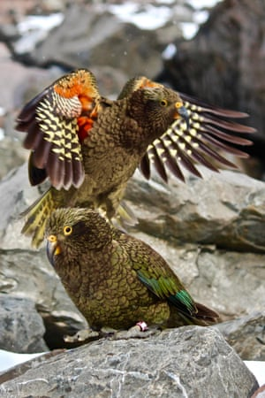 A kea at Arthur's Pass National Park, in Canterbury, New Zealand. The kea, the world's only alpine parrot, has been crowned New Zealand bird of the year, with thousands more votes cast for the species than there are surviving individuals.