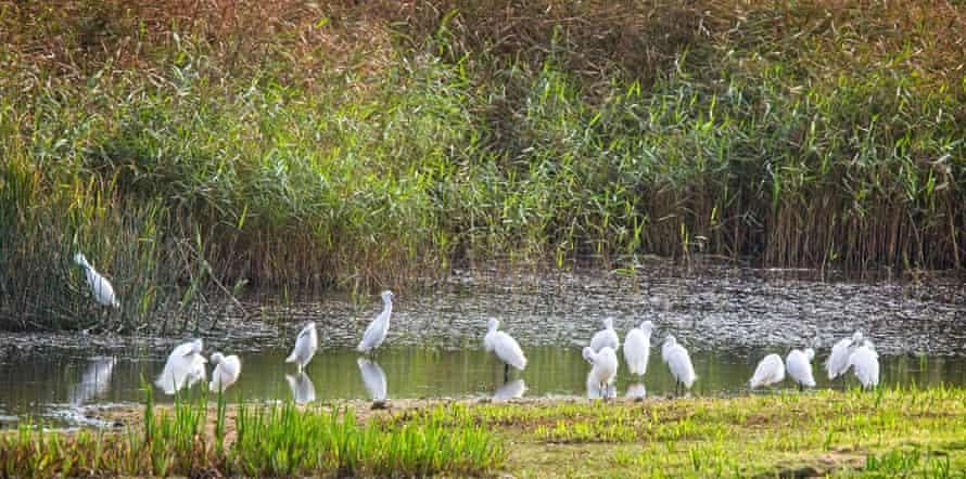 A flock of little egrets