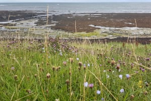 Knapweed on the cliff overlooking Boulmer Bay