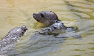 Pups with their mother at the Cornish Seal Sanctuary.