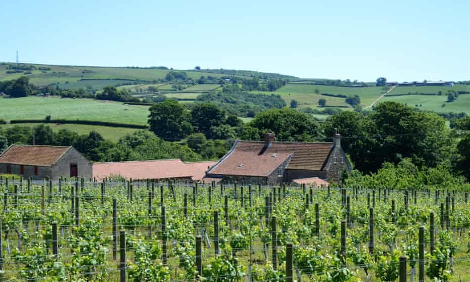 Rows of vines at Ryedale Vineyards, in Malton, with its 15th-century farmhouse, in Yorkshire, UK.