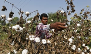 Harvesting cotton in India: Pants to Poverty says it supports 5,000 farmers.