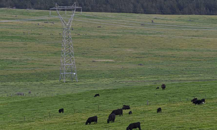 Cows in a field near power lines near Canberra.