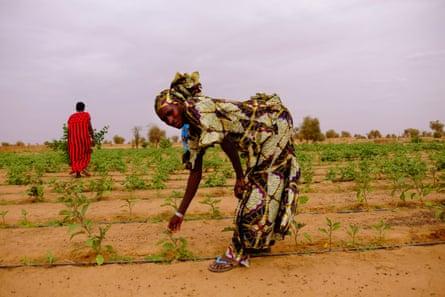 Women harvesting...
