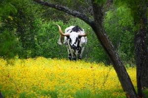 A longhorn cow grazes amongst brown bitter weed near Kingsland