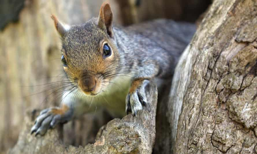 CyberSquirrel1 has verified 623 power outages which can be attributed to squirrels