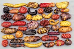 A selection of the thousands of native potato varieties that grow in Peru.