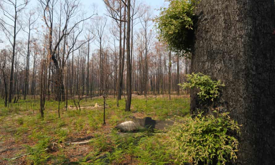 green shots sprouting on trees in bushfire affected land