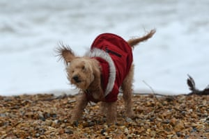 A dog in a coat is blown about in the wind on the beach at Preston beach in Weymouth
