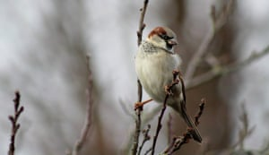 Sparrow in Copper Beech treeThis house Sparrow was feeding off the Copper Beech tree in my garden SM2 on an icy day .
