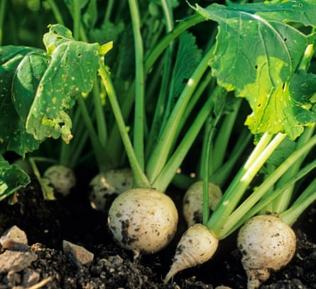 Turnip 'Snowball' has perfect, sweet roots.