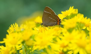 White-letter hairstreak butterfly (Satyrium w-album) was seen in Berwickshire, Scotland.