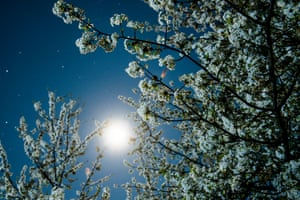 Spring arrives in Hungary: the moon illuminates a blossoming cherry tree at Somosko near Salgotarjan, northeast of Budapest.