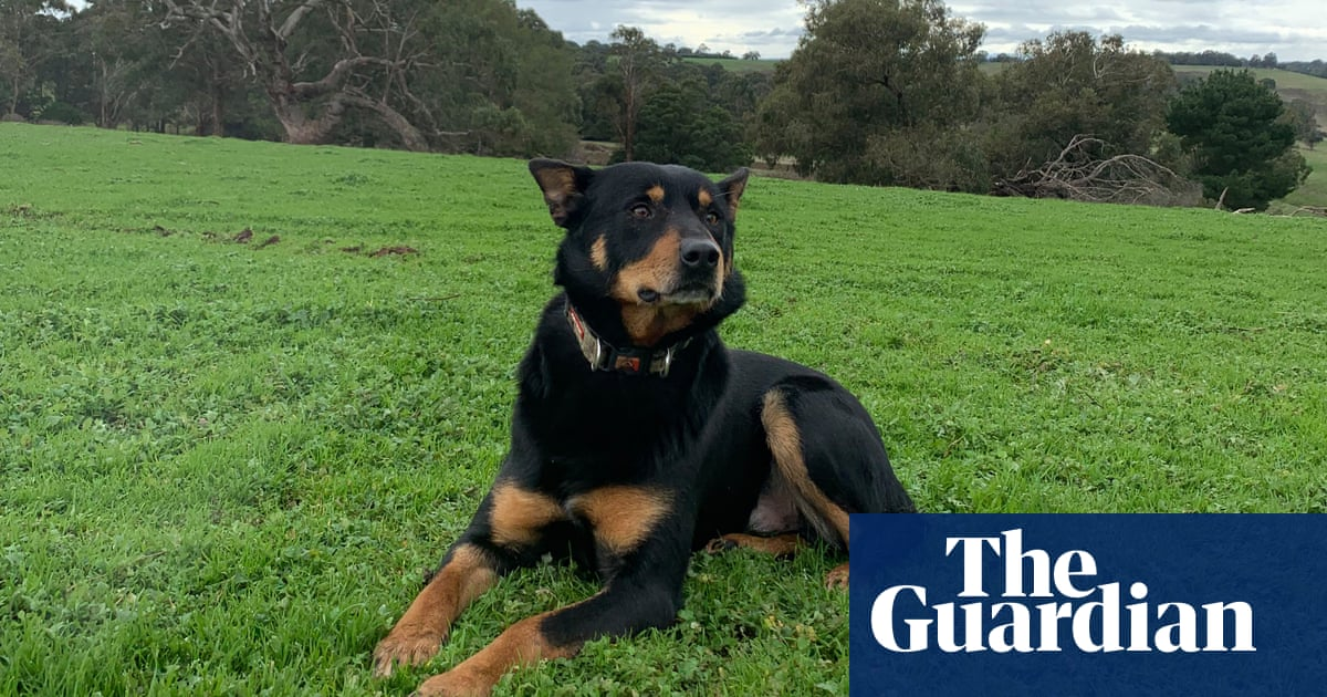 Born to run: meet Skyblue Jack, the hardest working dog in two countries