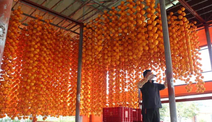 A farmer hangs peeled persimmons to dry