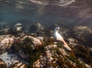 Australian sea lions warming themselves in the shallows