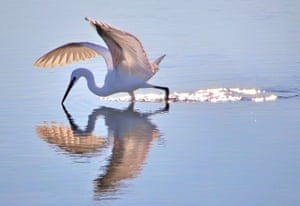 Little Egret wades through shallow water at the South Downs National Park, UK