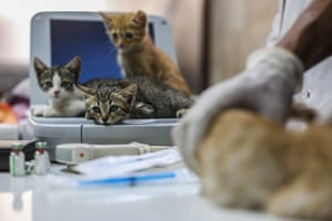 Rescued cats are checked by a vet