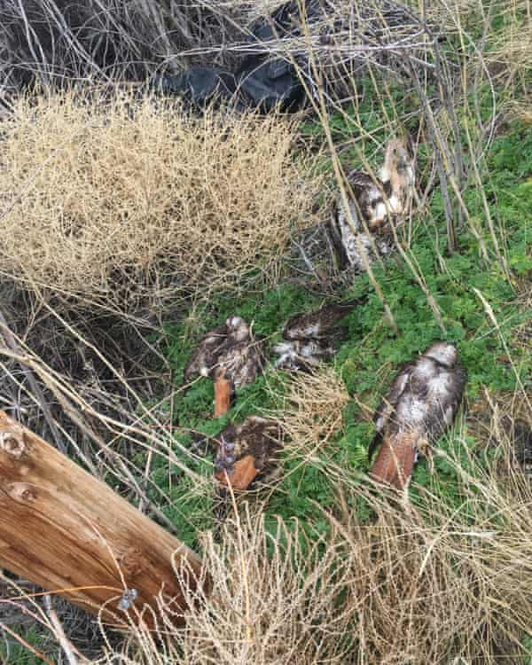 dead birds at bottom of roost