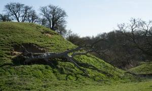 A toppled oak on Cainhoe Castle motte