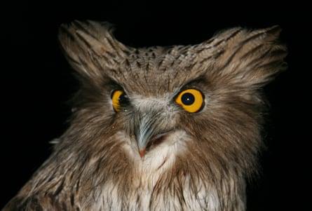 Blakiston's fish owl.