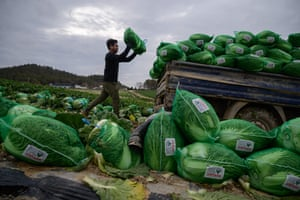 A worker from Thailand loads cabbages on to a truck during harvest at a cabbage farm near Mokpo, South Korea